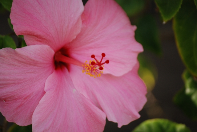 Hibiscus123