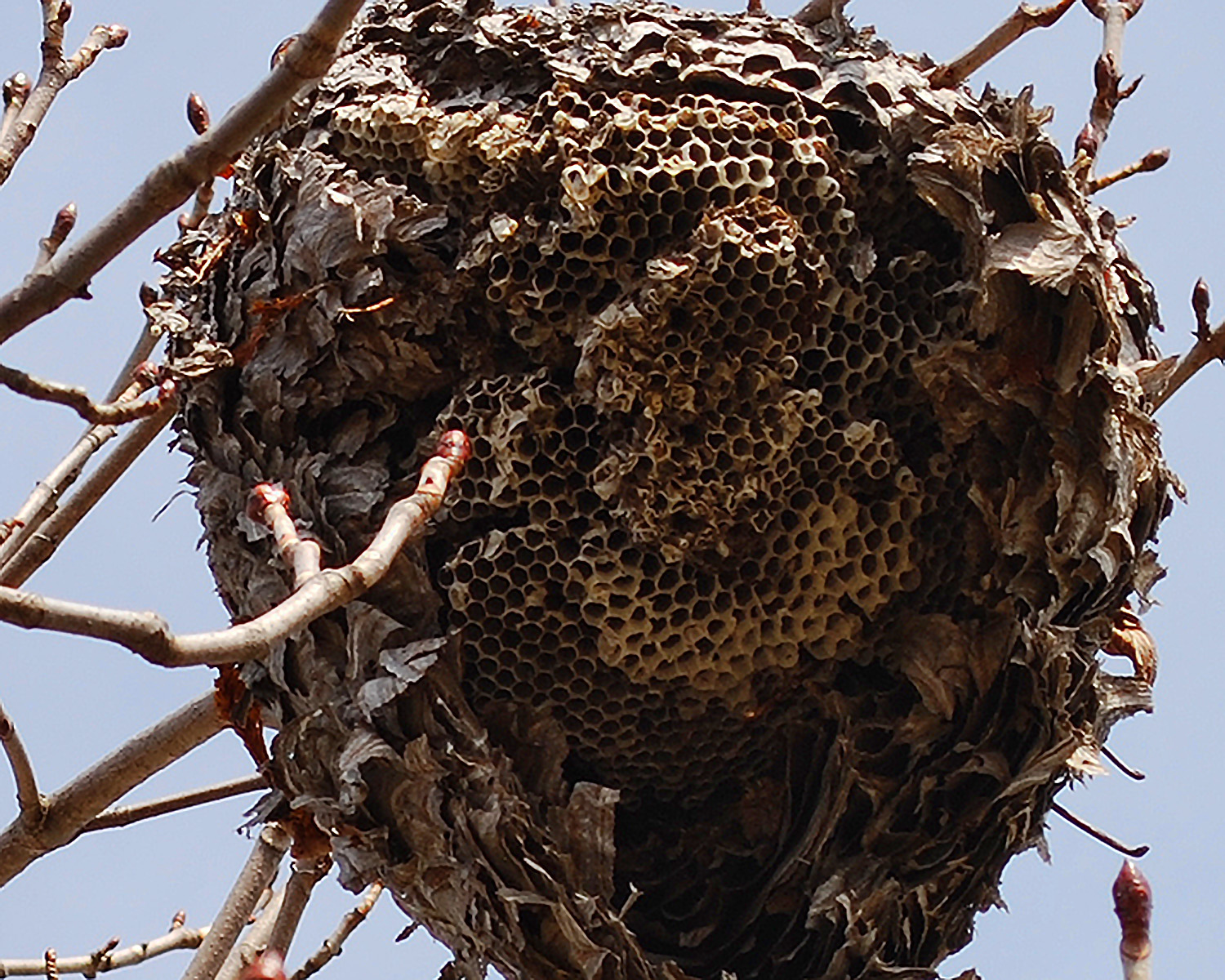 Red Wasp Nest