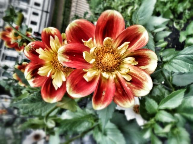 London Petals
