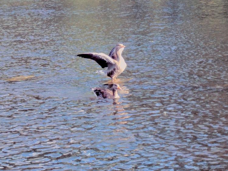 Flapping Duck Edinburgh London 2014_20140817_4643