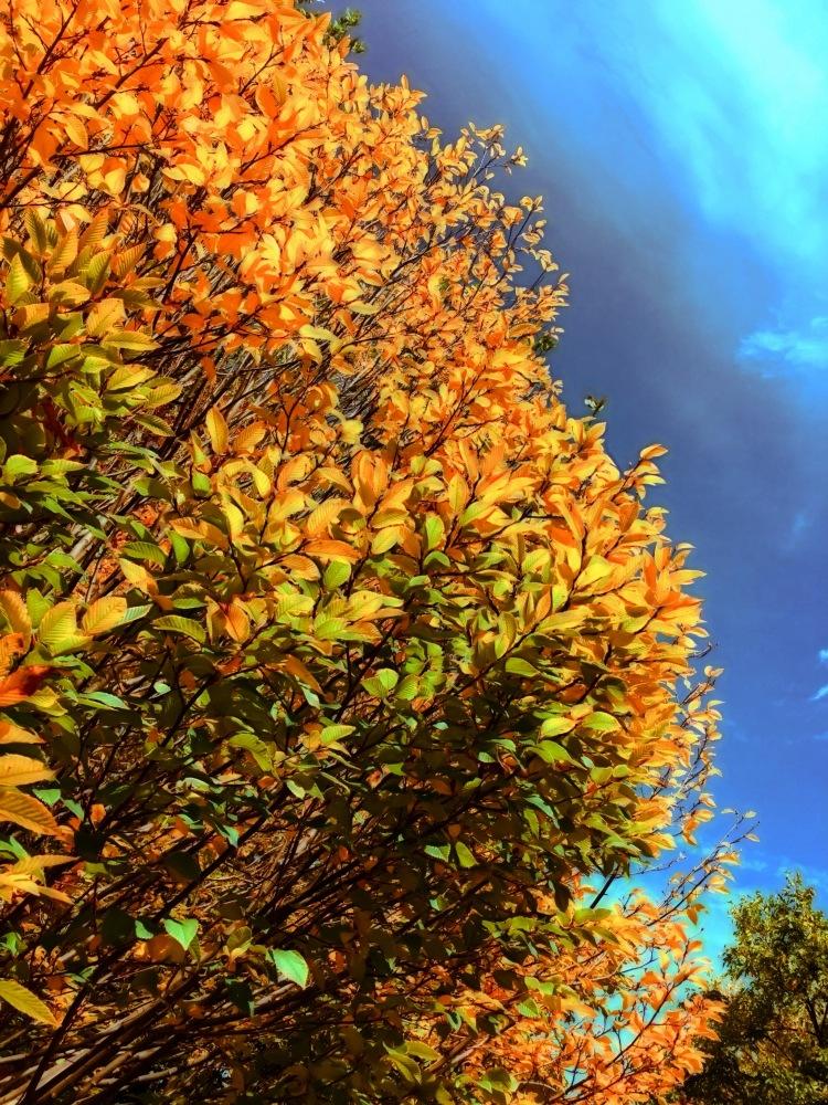 Yellow Tree Fall
