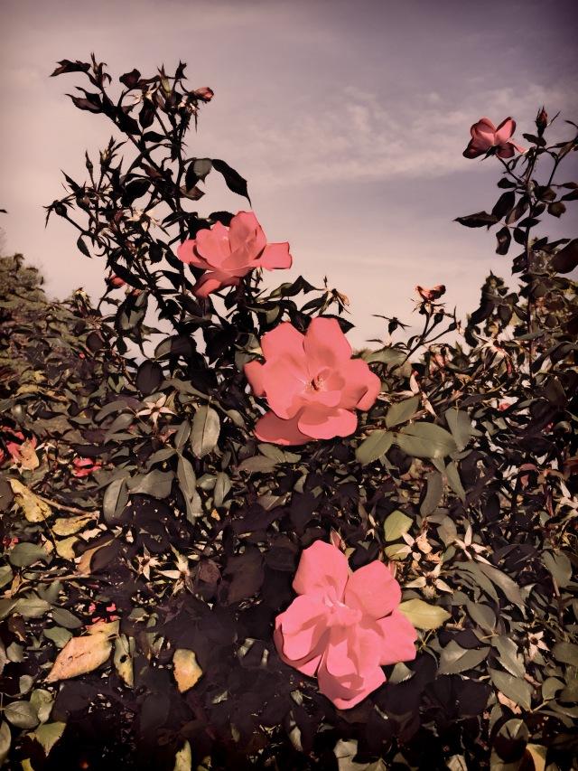rosetriple