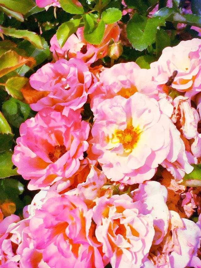 summerrose2