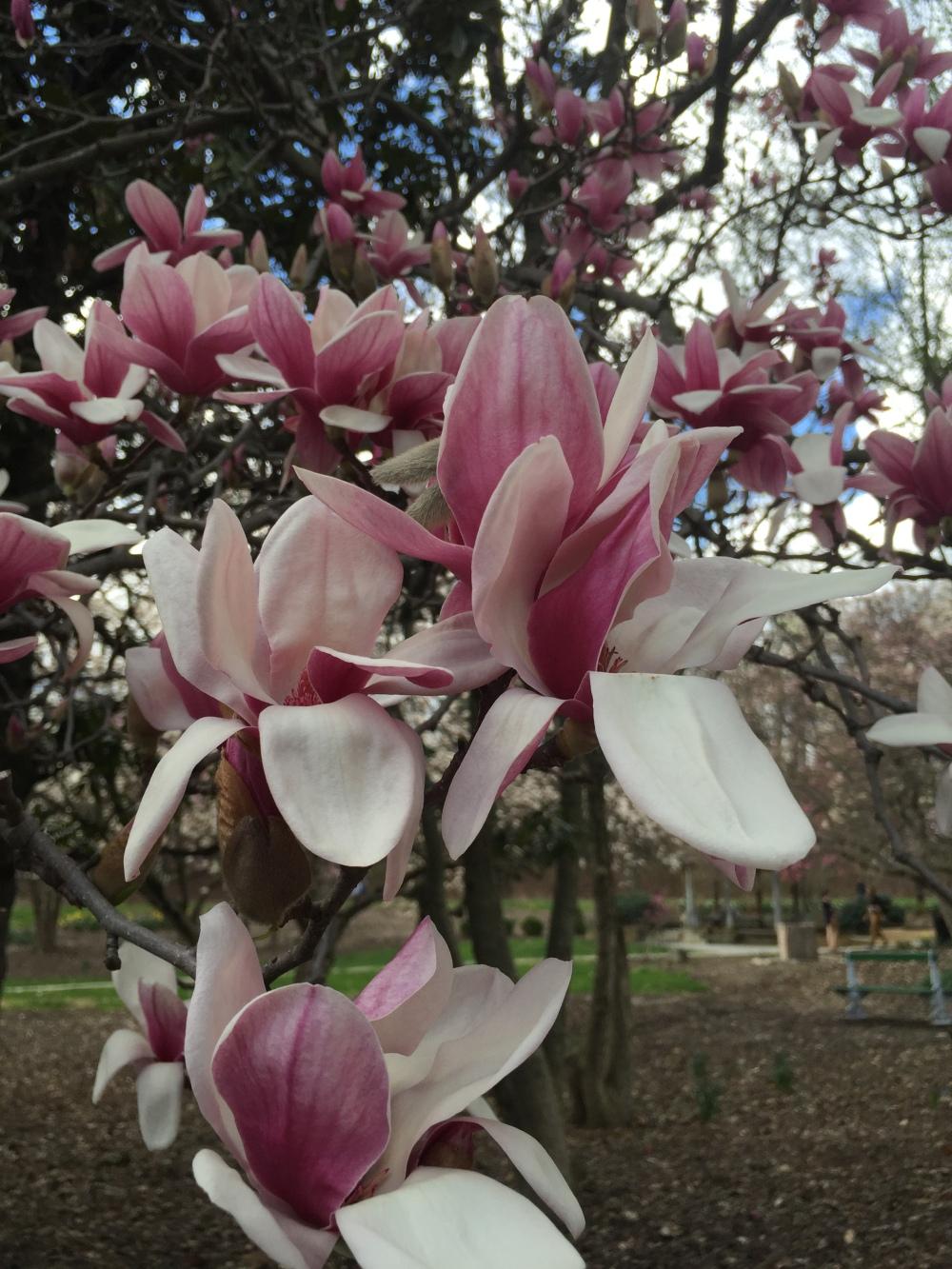 wild-magnolia