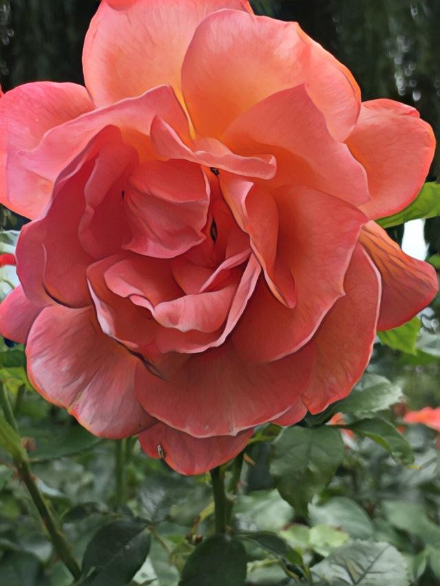 Rose face