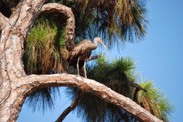 Jupiter FL_0410 Jupiter Florida Big Bird in a Pine