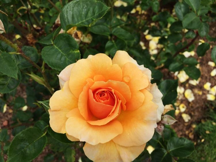 Peach Rose